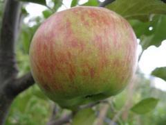 Саженцы яблонь  Топаз