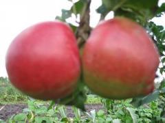 Саженцы яблонь  Перлина Києва