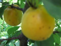Саженцы абрикоса  Ананасний
