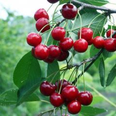 Саженцы вишни сорт Молодежная