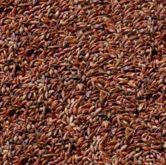 Seeds of Sudanese grass.