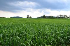 Насіння Суданської трави