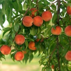 Саженцы персика позднего сорта Сказка