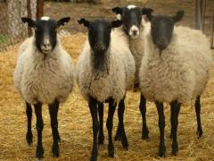 Романовской породы овцы молодые и взрослые
