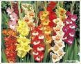 Flowers one-year - gladioluses