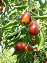 Fruits and saplings Zizifus, unab, a yuyuba,