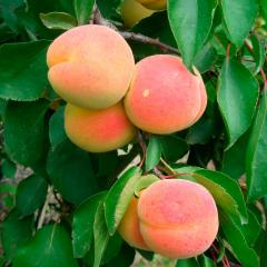 Саженцы абрикоса NJA