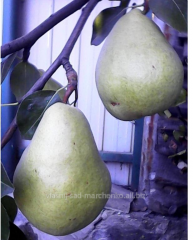 Pear grade Nikolay Kruger.