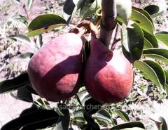 Pear grade Williams red