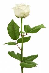 "White rose grade of ""Vayt Naomi"