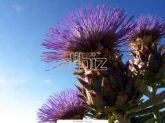 Thistle for expor