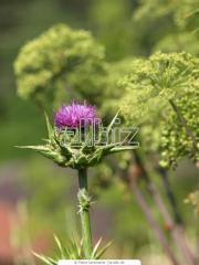 Seeds thistle for expor