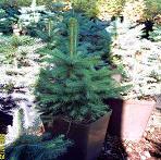 Деревья хвойные декоративные