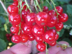 Саженцы смородины красной - сорт Йонкер Фон Тетс