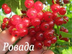 Саженцы смородины красной - сорт Ровада