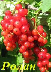 Саженцы смородины красной - сорт Ролан