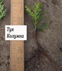Arborvitae cuttings grade Columna.