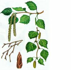 Dara Karpat, Medicinal herbs Birch sheet Ukraine