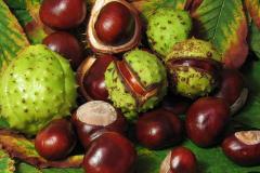Dara Karpat, horse-chestnut fruits Ukraine, Lviv