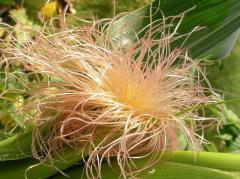 Кукуруза рыльца