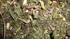 Дары Карпат, Эхинацея трава