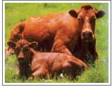 Скот крупный рогатый (КРС), животноводство