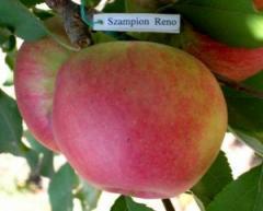 Чемпіон Рено Сажанці яблоні