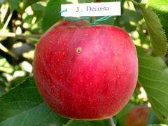 Горець сажанці яблонь