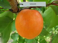 Саженцы абрикоса ранних сортов Лескоре