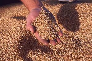 Зерно, пшеница, зерновые культуры для комбикорма,