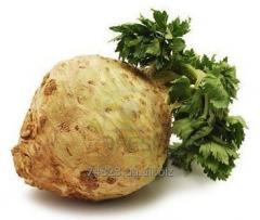 Celery fresh and useful.