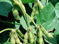 Семена сорта Эльдорадо