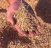 Зерно (зерновые)
