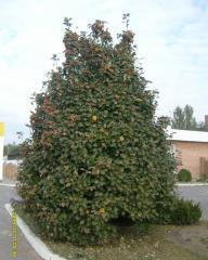 Mountain ash of the Scandinavian 1,0-1,3 m