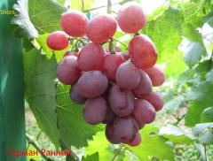 Саженцы винограда Гурман ранний, Кишмиш, Болгария
