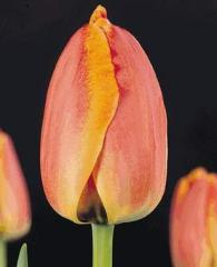 Тюльпан Purissima King