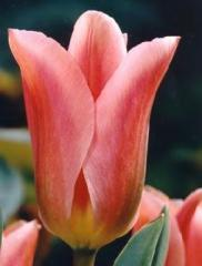 Тюльпан Albert Heyn