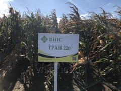 Семена Кукурузы Гран 220 (ФАО 210)
