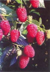 Raspberry saplings Anfisa