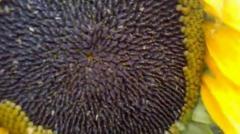 Seeds of hybrids of sunflower Patrol
