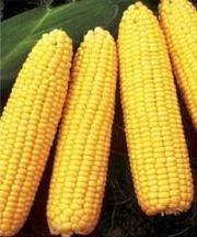 Brusnitsa sweet corn