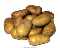 Potatoes, from the producer, a grade, the Slav,