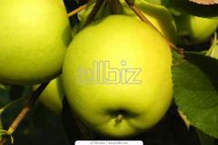 Apples a grade Golden to buy, expor