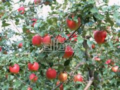 Apples Champion's grade