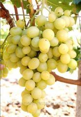 Grapes saplings Aide-de-camp