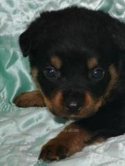 Puppies of a Rottweiler