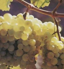 Виноградник участок 3 га