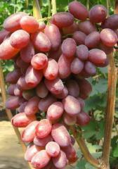 Shanks of grapes of Andryush