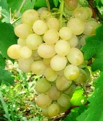 Grapes shanks Anthony the Great (B.Khr.D.)