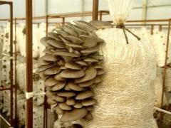 Субстратные блоки гриба вешенка